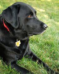Labrador Retriever Black Lab Dog Video