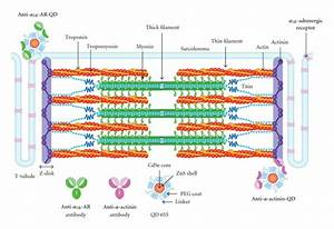 Sarcomere Imaging By Quantum Dots For The Study Of Cardiac