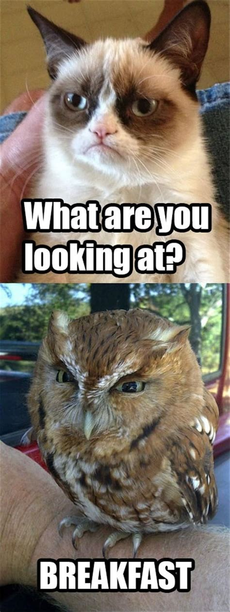 Funny Owl Meme - funny grumpy cat owl grumpycat meme the grumpy cat tardar pinterest cats pictures of