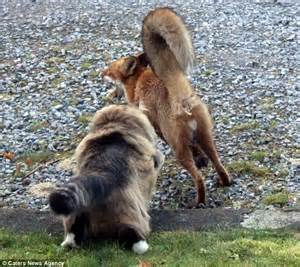 Fearless cat chases fox off owner?s land   Thai PBS English News