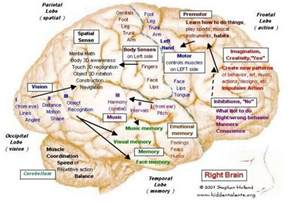 Left and Right Brain Hemispheres