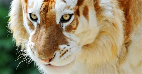 This The Extremely Rare Majestic Golden Tiger