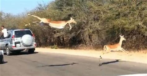 Impala Hides In A Jeep To Avoid Hungry Cheetah (video