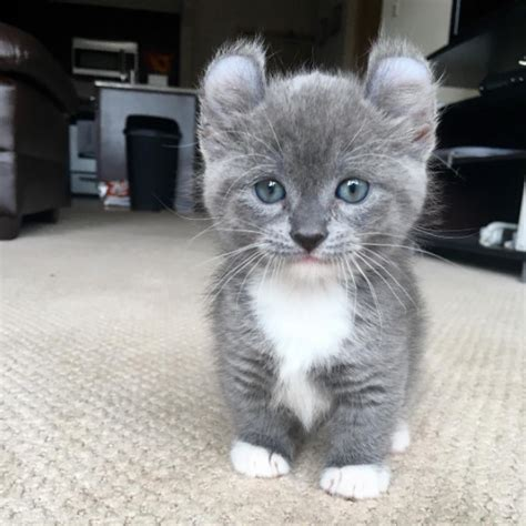 21 Reasons Why You Need A Munchkin Cat Asap Purrtacular