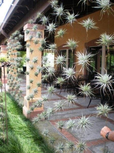 tillandsia international bromeliad air plants