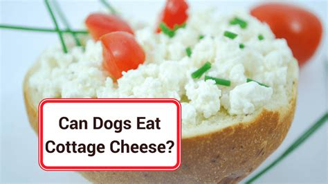 Can Puppies Eat Cottage Cheese can dogs eat cottage cheese smart owners