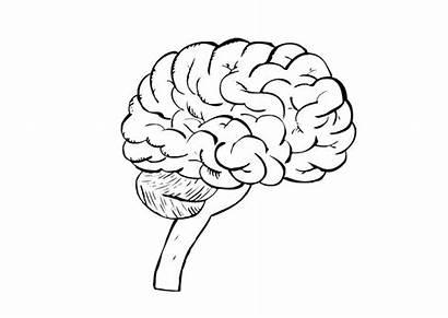 Brain Coloring Human Pages Science Printable Worksheet