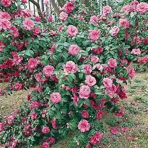 Camellia Japonica Winterhart : production and sell camellia japonica wide choise of flowering shrubs ammazzini piante ~ Eleganceandgraceweddings.com Haus und Dekorationen