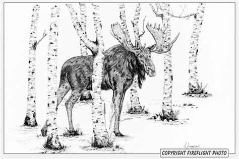 fireflight photo bull moose   ink drawing