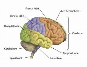 1  Parts Of A Human Brain  Inside The Brain  2013