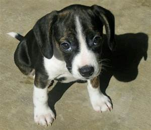 Raggle (Rat Terrier X Beagle Mix) Info, Temperament ...