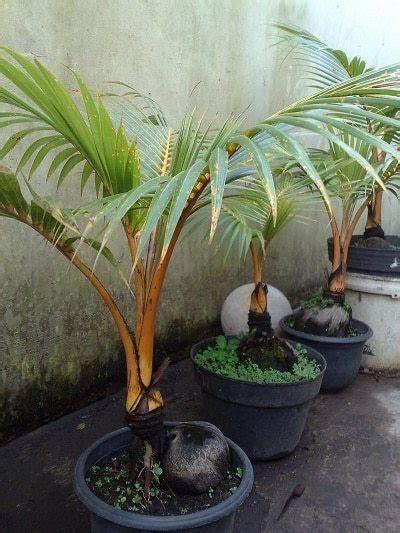 tips menanam pohon kelapa gading di depan rumah bibit