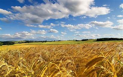 Field Summer Wheat Background Wallpapers Downloads Excellent