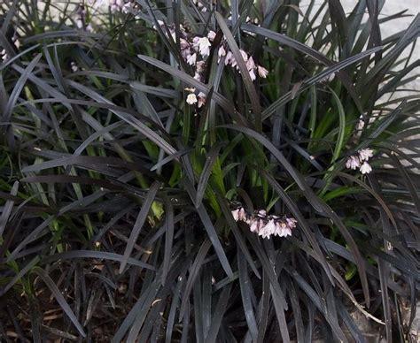 Buy Ophiopogon Planiscapus 'black Beard' 2l