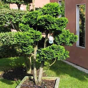 Zypresse Wird Braun : koniferen werden braun koniferen werden innen au en braun ~ Lizthompson.info Haus und Dekorationen