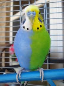 Rare Parakeet Colors Budgie