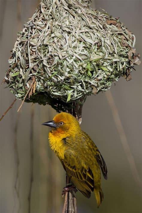 south weaver bird weaver bird south africa birds pinterest