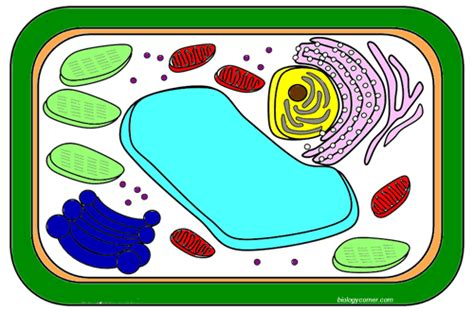 plant cell coloring key cell the biology corner