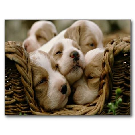 basket full  puppies post cards cute pinterest