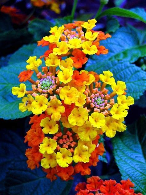 flowers to plant in for summer bloom lantana all summer bloom flowers pinterest