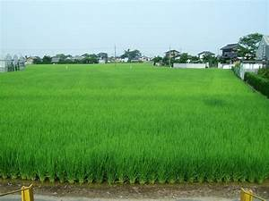 File:Rice paddy fields near Tamamura Station Ibaraki Japan ...
