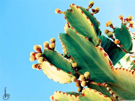 cactus wallpapers top  cactus backgrounds