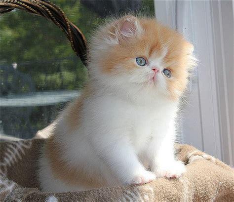 20+ Persian Cat Kittens That Will Melt Your Heart