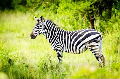 Zebra Wallpapers Wallpaperxyz Animal Link