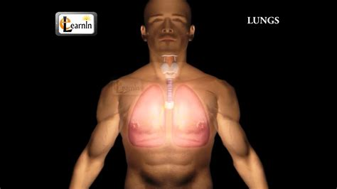 human lungs parts  respiratory system human anatomy