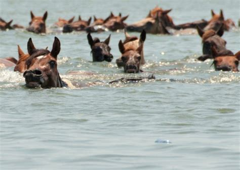 horses swimming swim answers should know