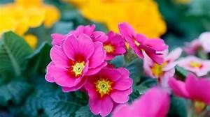 Was Sind Frühlingsblumen : das sind die top 10 der fr hlingsblumen f r garten und balkon mencke gartencenter ~ Whattoseeinmadrid.com Haus und Dekorationen