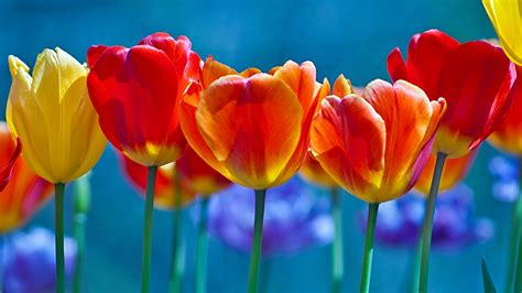 wallpaper tulips colorful hd flowers