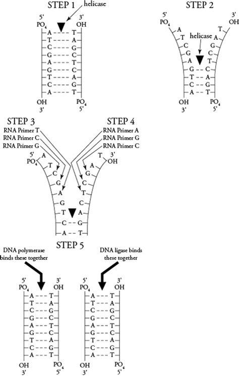13 Best Images Of Dna Replication Worksheet Middle School  Dna Structure Worksheet High School