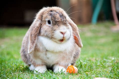 lop eared rabbit lop eared rabbit free stock photo public domain pictures