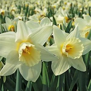 Spring Trumpet Daffodil Mix