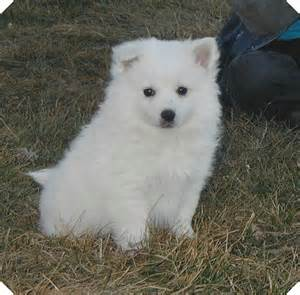 american eskimo dog dog breed information puppies pictures