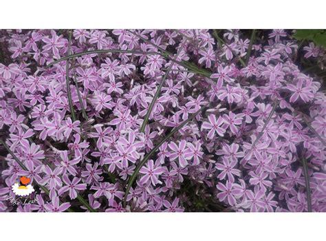 Latvijas stādi - Phlox subulata 'Candy Stripes' - aslapu ...