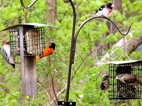 analysis do bird feeders help or hurt birds all about