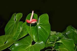 Meerrettich Blüht Was Tun : anthurie bl ht nicht wo liegen die ursachen flamingoblume ~ Lizthompson.info Haus und Dekorationen