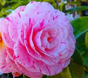 Camellia Japonica Winterhart : camellia japonica william bartlett ~ Eleganceandgraceweddings.com Haus und Dekorationen