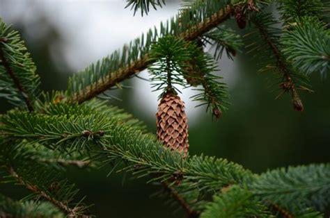 Weihnachtsbaum Im Topf Tipps Fuer Kauf Sorten Und Pflege by Weihnachtsbaum Fichten Tannenb 228 Ume Co Tipps 2017