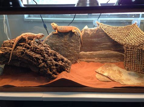 how to decorate your bearded s terrarium and choose roommates the smart way bearded