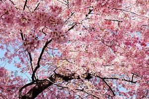 Rosa Blühende Bäume April : fotos japanische kirschbl te rosa farbe blumen bl hende b ume ~ Michelbontemps.com Haus und Dekorationen