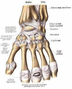 Interior   Part Of Upper Limb A Colour Atlas Check Dorsal