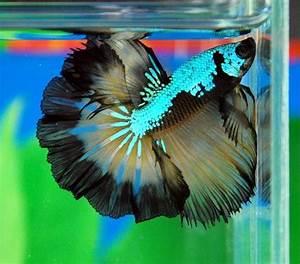 231 best images about Betta Fish on Pinterest   Betta fish ...
