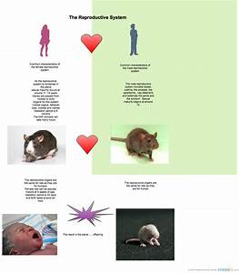 Reproductive Systems Of Humans V Rats   Compare  U0026 Contrast