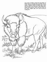 Coloring Bison Buffalo Animal Animals Printable Cape African Sheet Colorat Adult Oregon Trail Template Drawings Planse Desene Bizon Native Trafic sketch template