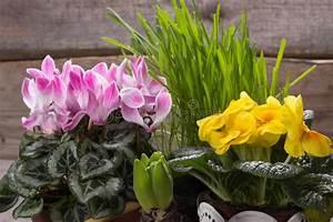 Alpenveilchen Gelbe Blätter : frisches rosa alpenveilchen gelbe primel stockbild bild ~ Lizthompson.info Haus und Dekorationen