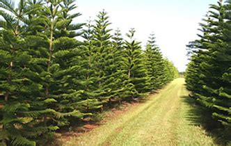 hawaii christmas trees and wreaths from helemano farms in