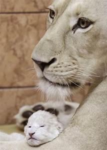 Newborn lion.